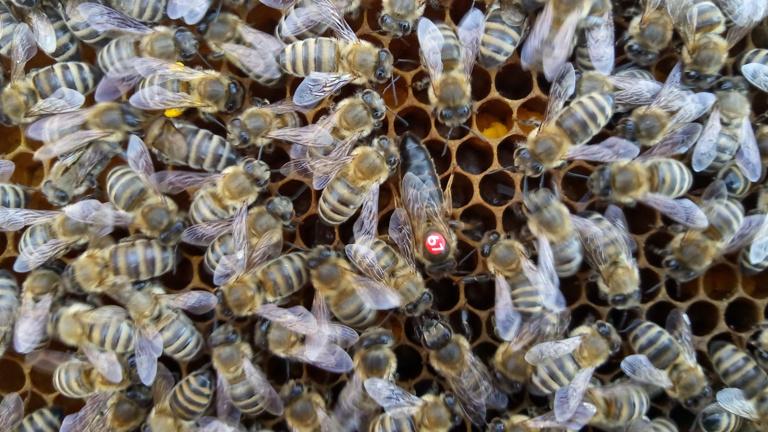 Neue Bienenköniginnen braucht das Land