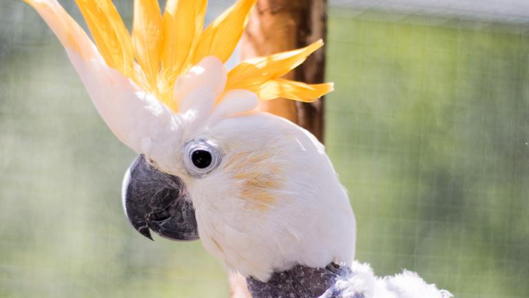 Cacachaula - Freiflugvoliere