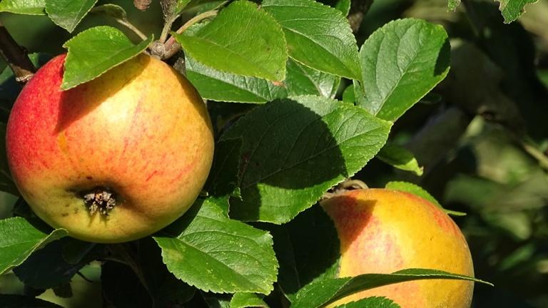 WAPFL - Von der Wabe zum Apfel
