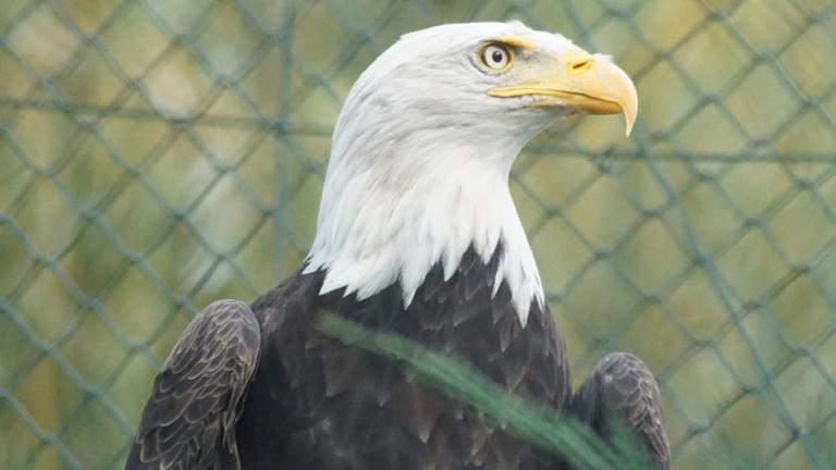 Neue Weißkopfseeadlervoliere im Tiergarten Kleve